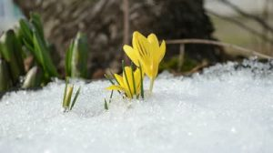 stock-footage-saffron-crocus-first-spring-flowers-between-melting-snow-yellow-blooms